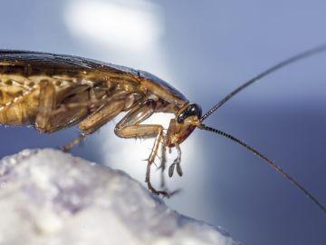 cucaracha una plaga en tu hogar