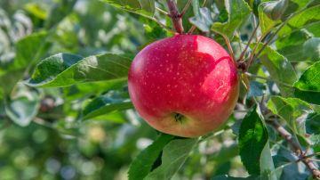 manzana roja en un árbol
